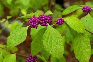 Khám phá về loài cây nàng nàng, mọc nhiều ở Việt Nam