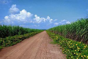 Thách thức trong ngắn hạn và cơ hội trong dài hạn cây mía Tây Ninh