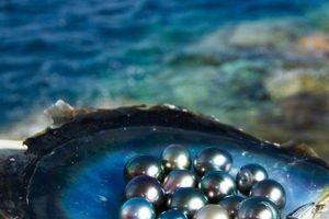 Clip: Ngọc trai tự nhiên và quá trình hình thành cực thú vị