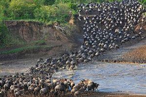 Choáng ngợp trước cảnh di cư của đàn linh dương đầu bò