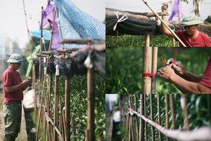 Người dân trồng hoa ly lắp điện, buộc rào canh 'đạo chích' dịp Tết Nguyên đán 2020