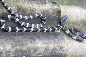 Bị rắn độc cắn lúc đang ngủ, bé trai 22 ngày tuổi tử vong thương tâm