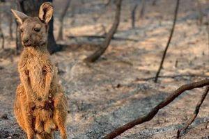 Sự thật bất ngờ về kangaroo, 'nạn nhân' đáng thương vụ cháy rừng ở Úc