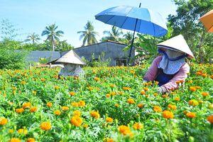 Ngỡ ngàng vườn hoa vạn thọ của nông dân miền Tây