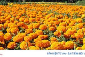 Làng hoa Phó Thọ - Bà Bộ (Cần Thơ) tất bật làm hoa Tết