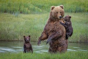Gấu con đòi trèo lên lưng mẹ vì sợ nước