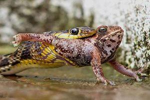 'Ghê rợn' cảnh rắn độc nuốt chửng ếch nhanh như chớp