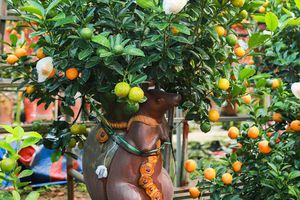 Độc đáo chuột vàng cõng quất bonsai