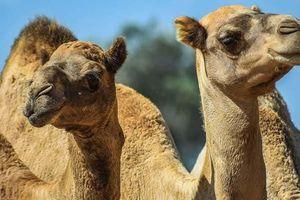 Tay súng trên trực thăng bắn chết hơn 5.000 con lạc đà ở Australia