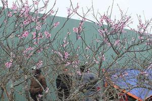 Ninh Bình: Tết sớm ở 'thủ phủ đào phai' xã Đông Sơn