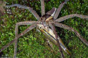 Ảnh động vật: Nhện hung bạo nuốt gọn cá trong nháy mắt