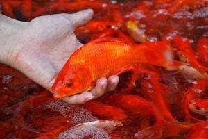 Cá chép đỏ tăng giá trước ngày ông Công ông Táo