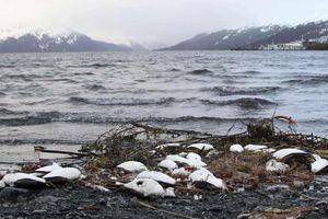 Một triệu con chim biển chết vì biến đổi khí hậu trong chưa đầy 1 năm