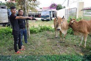 Trộm bò giống rồi ngang nhiên thuê xe tải chở đi tiêu thụ