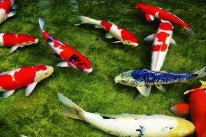 Có nên cúng ông Công ông Táo bằng cá Koi thay cho cá chép?