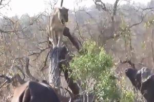 Những tình huống trâu rừng tấn công khiến sư tử 'kinh hồn bạt vía'