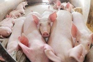 Thịt lợn có thể tăng giá nhẹ dịp cận Tết