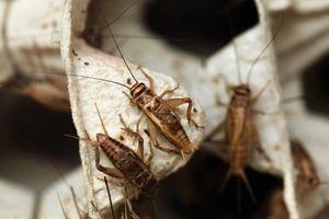 Món kem ấu trùng ruồi đen và ngành thực phẩm từ côn trùng