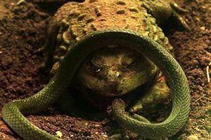 CLIP: Ngay cả rắn độc cũng phải 'ngậm ngùi' trở thành thức ăn cho loài sinh vật nhỏ bé dưới đây