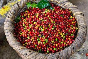 Giá cà phê hôm nay 19/1: Cả tuần giảm mạnh 400 đồng/kg