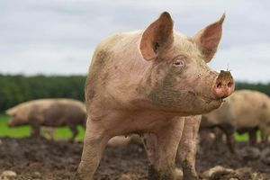 Nông dân Ba Lan bị đàn heo nhà ăn thịt