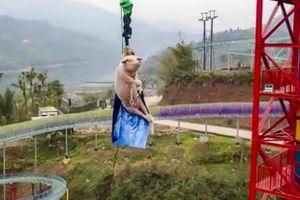 Trung Quốc: Bắt lợn sống nhảy từ độ cao gần 70m để mua vui gây phẫn nộ