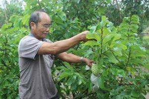 Khởi nghiệp nông nghiệp: Làm giàu thành công từ trồng mãng cầu Hoàng Hậu
