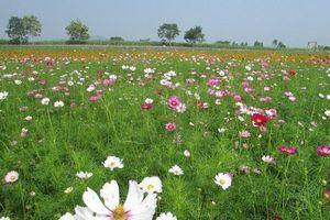 Nghệ An: Du khách tấp nập đổ về cánh đồng hoa