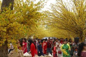 Hàng ngàn người đổ về phố ông đồ, đường mai vàng đón Xuân