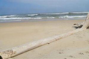 Hai cây gỗ 'lạ' trôi dạt vào bờ biển Tam Thanh