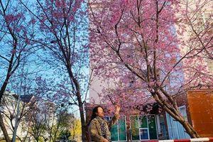 Ngắm hoa mai anh đào bung sắc đón xuân mới 2020 trên khắp phố phường Đà Lạt