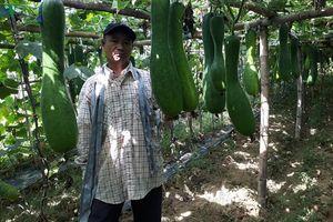 Rau xanh rớt giá, nông dân Quảng Nam gặp nhiều khó khăn
