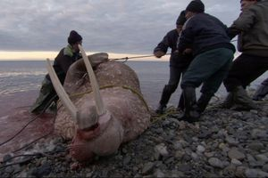 Nghề săn hải mã nặng 2 tấn ở Bắc Cực