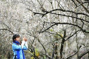Ngẩn ngơ trước cảnh hoa mận vào mùa ở tỉnh Quý Châu, Trung Quốc