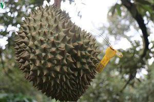 Đắk Lắk: Sầu riêng Krông Pách hướng tới thị trường xuất khẩu
