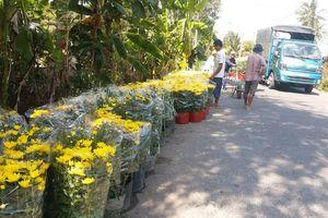 Người trồng hoa Tết Tiền Giang trúng mùa, trúng giá
