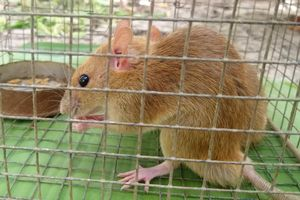 Nông dân Cà Mau bẫy được cặp chuột lông vàng, tai hồng nhạt
