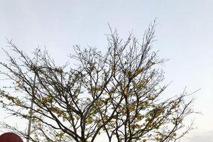 Chiêm ngưỡng mai rừng cổ thụ giá cả trăm triệu đồng