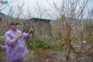 Người trồng đào trên đảo Vân Đồn đón tết ấm no