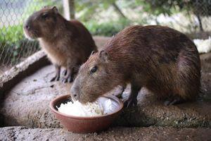 Xuất hiện loài chuột khổng lồ to nhất thế giới ở Hà Nội