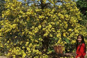 Ngắm hàng loạt cây mai 'cổ' nở hoa vàng rực