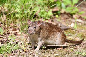 Cực độc hình tượng chuột trong kho tàng tục ngữ thành ngữ Việt Nam