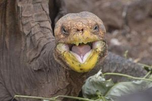 Cụ rùa 'sát gái', quan hệ khắp nơi cứu cả loài khỏi tuyệt chủng
