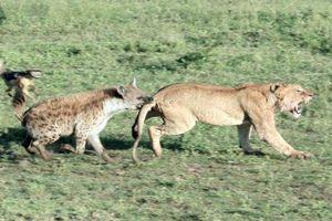 Linh cẩu và chó rừng hợp sức cướp mồi của sư tử