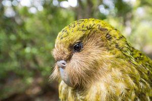 Loài vẹt kỳ quái không biết bay nhưng thơm như nước hoa