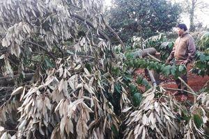Xót xa phát hiện gần 60 cây sầu riêng bị chặt phá ngày mùng 2 Tết, thiệt hại gần 600 triệu đồng