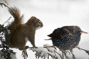 'Choáng' loài sóc tiến hóa thông minh, biết nhờ chim làm gián điệp