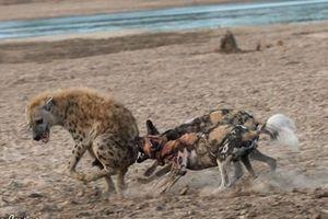 Bị chó hoang tẩn tơi tả, linh cẩu được phần bố thí