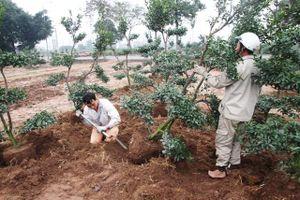 Sau Tết, nông dân hối hả 'hồi sinh' cho quất cảnh