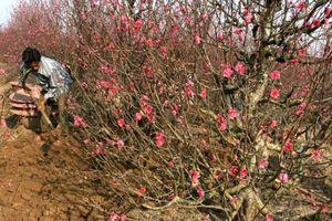Nông dân hối hả thu hồi đào, quất về vườn để chăm bón sau Tết